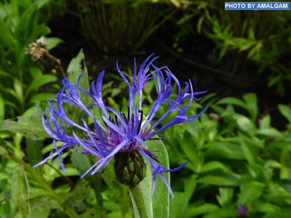 blue-beauty-beautiful-flower-wallpaper
