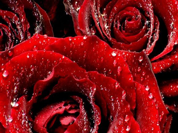 dew-drops-on-rose-beautiful-flower-wallpaper