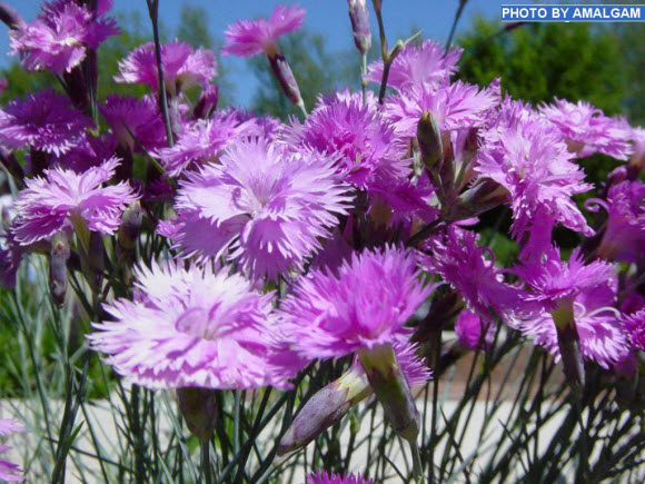 lavender-beautiful-flower-wallpaper